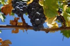 azienda-biologica-basile-uva