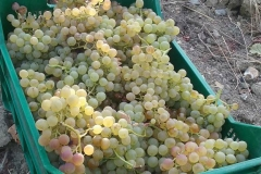 grape-harvest-basile-organic-farm-maremma-toscana