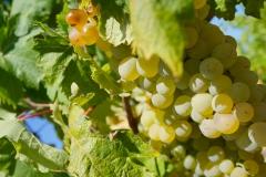 uva-basile-toscana